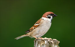 Brown sparrow Royalty Free Stock Image