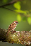 Brown sparrow Royalty Free Stock Photos