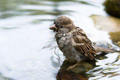 Brown Sparrow. A Brown Sparrow taking a bath in a pond Stock Image
