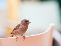 Brown sparrow Stock Image