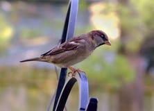 Brown sparrow Royalty Free Stock Photos