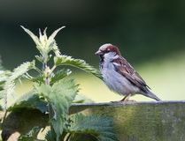 Brown Sparrow bird Stock Images