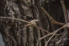 Brown sparrow bird on a tree autumn time. Pet freedom Stock Image