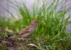 Brown sparrow on green grass Royalty Free Stock Images