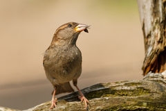 Brown sparrow with insect in mouth Royalty Free Stock Photography