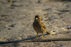 Brown Sparrow Stock Photography