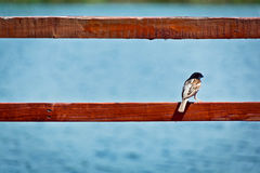 Brown Sparrow on Red Wood Railing Before Blue Water Stock Images