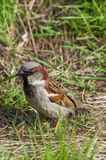Brown sparrow sitting in the grass Royalty Free Stock Photography