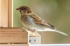 A brown sparrow. Sitting on a wooden edge stock images