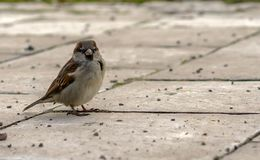 A brown sparrow stands on paving slabs in a city park royalty free stock photography