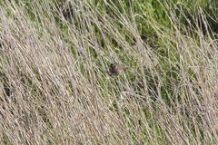 Brown Sparrow in Tall Grass Royalty Free Stock Photo