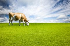 Brown speckled Cow on Meadow stock photo