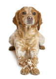 Brown speckled dog lying Stock Photography