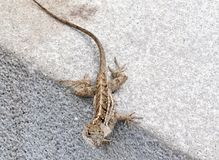 Brown speckled lizard on sidewalk curb Royalty Free Stock Photography