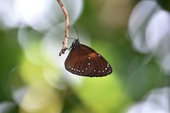 Brown speckled white butterflies on his head stock images