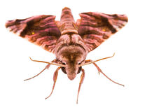 Brown Sphingidae family of moths Royalty Free Stock Photography