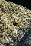 Brown Spider Royalty Free Stock Photos