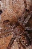 Brown Spider stock photos