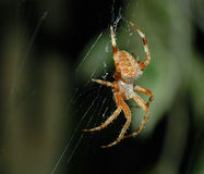 Brown Spider. Common garden spider, west coast royalty free stock photos