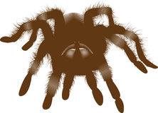 Brown Spider Stock Photography