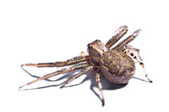 Brown Spider from back Stock Image