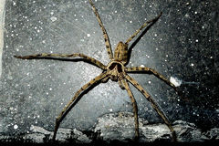 Brown spider. Beautiful Brown spider on the black background Royalty Free Stock Photo
