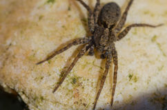 Brown spider with big eyes close-up Stock Photography