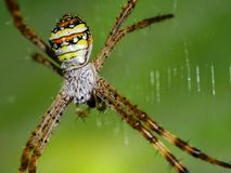 Brown spider. Which  bottom is yellow, orange, black and white on the spider web Royalty Free Stock Photography