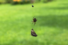 Brown spider with caught flies, garden cross spider has caught a. Fly, spider web Stock Photography