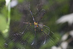 Brown spider in the center of a spider web Royalty Free Stock Photo