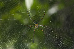Brown spider in the center of a spider web Royalty Free Stock Image