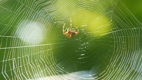 Brown spider crusader weaves a web on a tree in summer. Web weaving on background of green foliage of trees. Big. A brown spider crusader weaves a web on a tree stock video