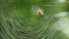 Brown spider crusader weaves a web on a tree in summer. Web weaving on background of green foliage of trees. Big. A brown spider crusader weaves a web on a tree stock video footage