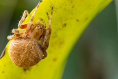 Brown spider in green background Stock Photo