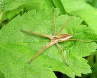 Brown spider on green leaf, Lithuania Stock Images