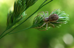 Brown spider at green plant Royalty Free Stock Image