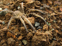 Brown spider on the ground stock photography