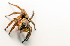 Brown Spider. Hairy Brown Spider in detail with white background, macro Royalty Free Stock Image
