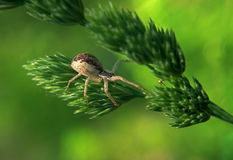 Brown spider hunting on green plant. Brown spider hunting on the green plant Stock Photo
