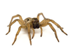 Brown spider isolated on white background stock photo