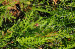 Brown spider on its own web with water drops Royalty Free Stock Image