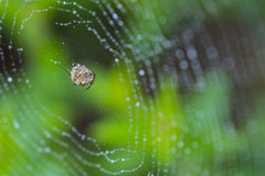 Brown spider in its web Stock Image