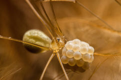 Brown spider. Laying on chicken feather net Royalty Free Stock Image