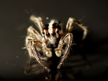 Brown Spider. Macro Portrait of brown spider Royalty Free Stock Images