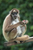 Brown spider monkey. The brown spider monkey sitting on the post Stock Images