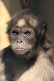 Brown spider monkey Stock Photography