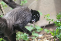 Brown spider monkey Royalty Free Stock Images