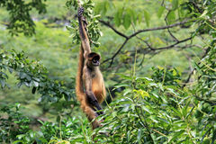 Brown spider monkey hanging from tree, Costa Rica stock images