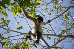 Brown spider monkey hanging from tree, Costa Rica, Central America. Blue sky royalty free stock photo