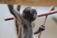 Brown spider monkey juvenile. The juvenile of brown spider monkey Stock Photo